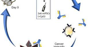 Stem cell vaccine immunizes lab mice against multiple cancers